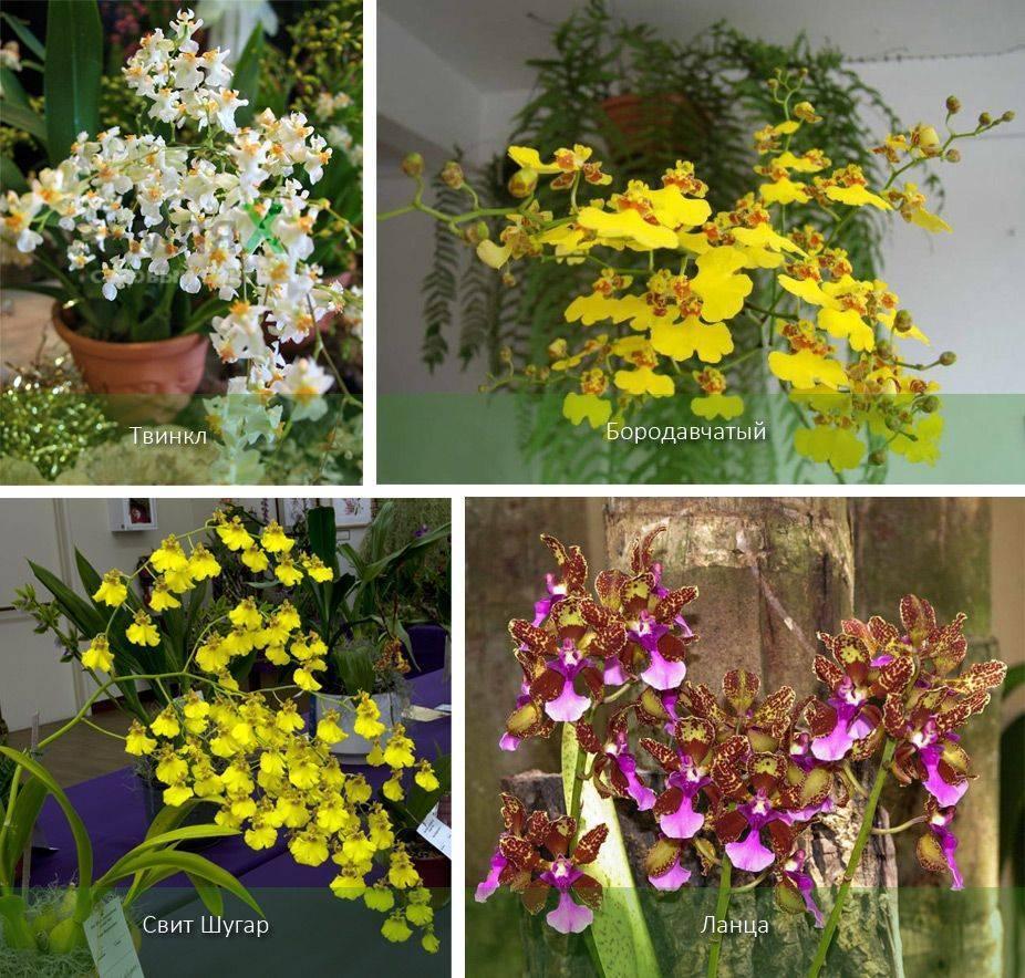 Хрупкая орхидея онцидиум: описание сорта и уход в домашних условиях