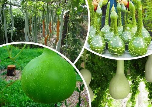 Лагенария, или горлянка — овощ на все руки. калабас. уход, выращивание, размножение. фото — ботаничка.ru