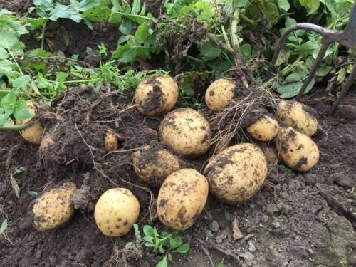 Описание и характеристика картофеля сорта каратоп, правила посадки и ухода