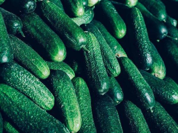 Огурец гинга f1: отзывы дачников с опытом, описание и инструкция по выращиванию, применение урожая