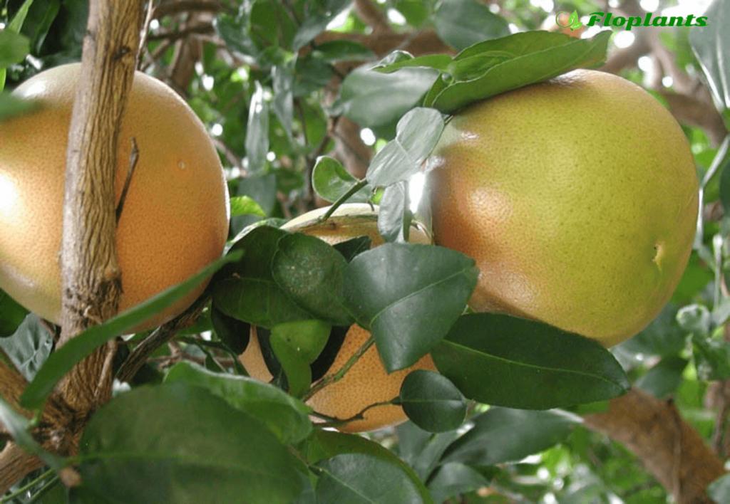 Как выращивать грейпфрут в домашних условиях