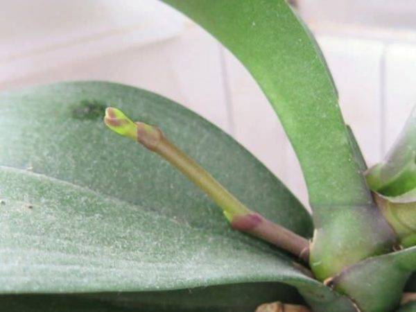 Причины  почему у орхидеи вянут цветы и бутоны. проблемы цветения. | страна мастеров