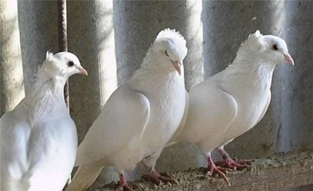 Виды и разведение узбекских декоративных голубей