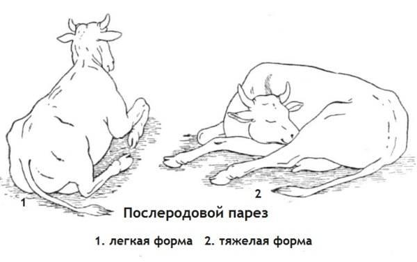 Послеродовой парез у коров: что делать, профилактика