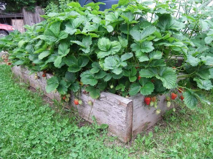 Клубника эльсанта: описание сорта с характеристикой и отзывами, особенности посадки и выращивания и ухода, фото