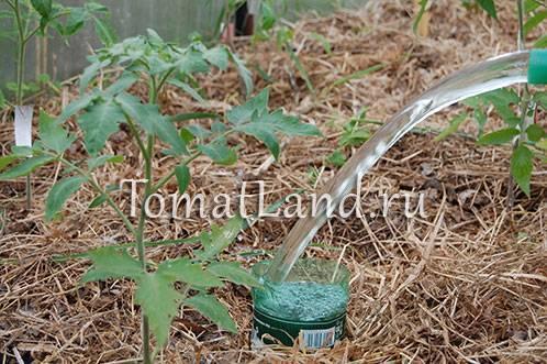 Как правильно поливать помидоры (томаты) в теплице: какое время лучше выбрать и как часто увлажнять