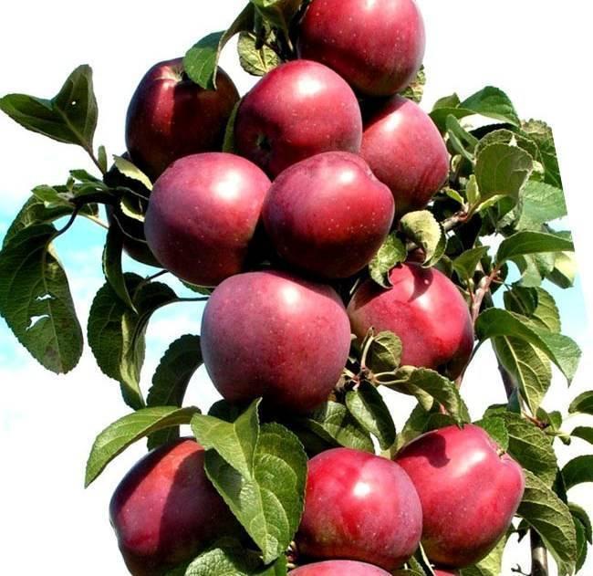 Яблоня луч — ранний и скороплодный колоновидный сорт