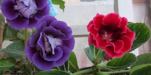 Глоксиния - размножение листом: инструкция и советы. уход за комнатным растением в домашних условиях