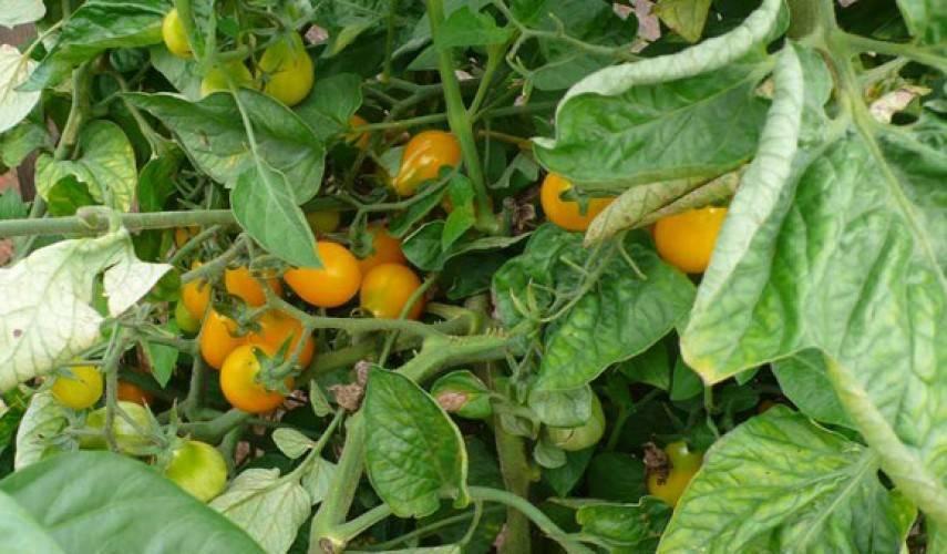 Томат медовая капля: описание, выращивание, уход