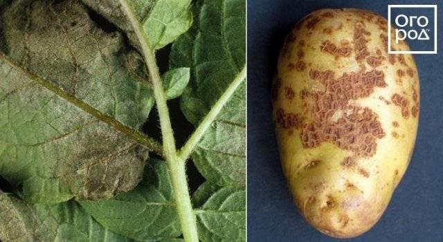 Основные болезни картофеля: виды, классификация, описание основных бактериальных, вирусных и грибковых заболеваний, признаков поражения и методов лечения