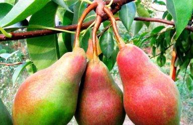 Описание лучших сортов груш для сибирского региона