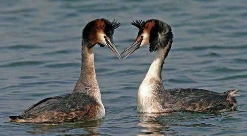 Утка поганка (чомга): фото, описание, характеристика