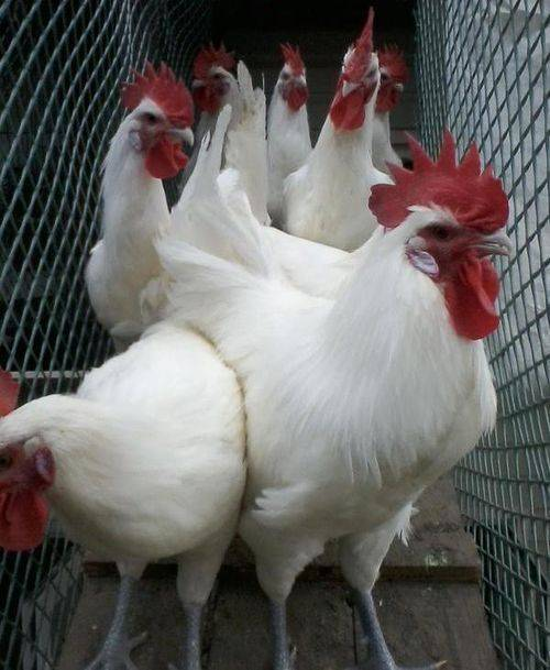 Бресс гальская порода кур – описание, фото и характеристика брессгальских кур