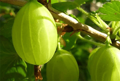 Крыжовник малахит: характеристика, плюсы и минусы, советы по выращиванию