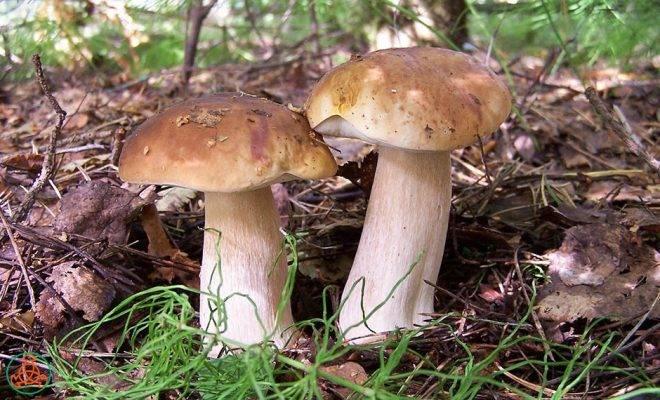 Что нужно знать о белых грибах