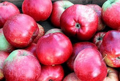 Сорт яблони «легенда»: характеристика, достоинства и недостатки, советы по выращиванию
