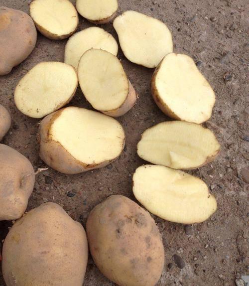 Картофель колобок: описание и характеристика сорта, урожайность, отзывы, фото