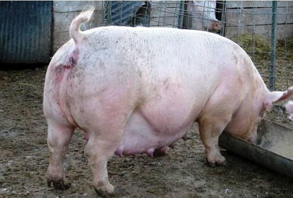 Случка свиней — agroxxi