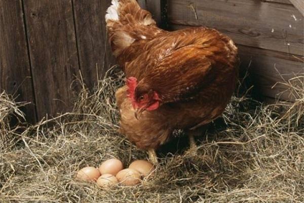 Яйценоскость кур несушек как определить и правильно кормить?