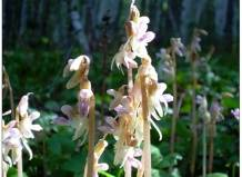 Немофила: описание цветка, посадка, уход в открытом грунте, выращивание из семян