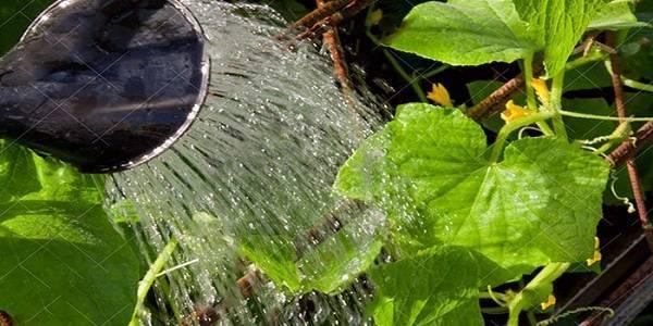 Огурец сорта ухажер | огородовед