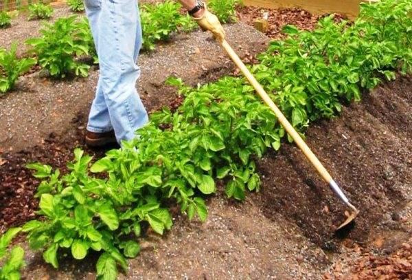 Посадка картофеля в гряды
