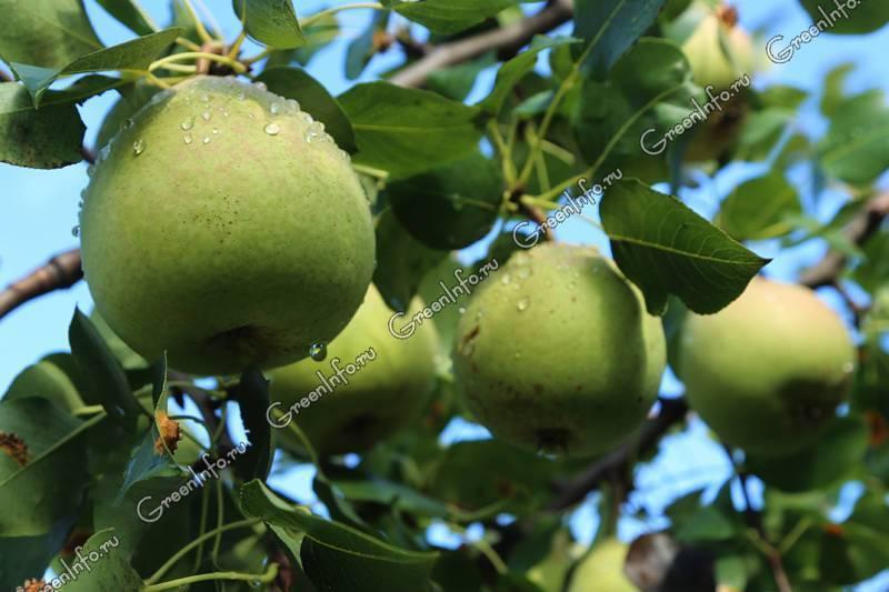 Когда сажать грушу весной, осенью или летом, сроки пересадки и прочее