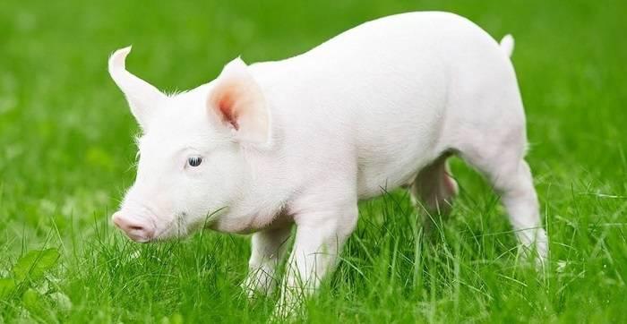 Белые длинноухие свиньи