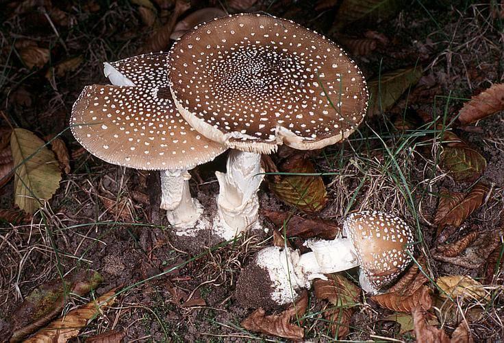 Опасный, но лечебный гриб мухомор пантерный