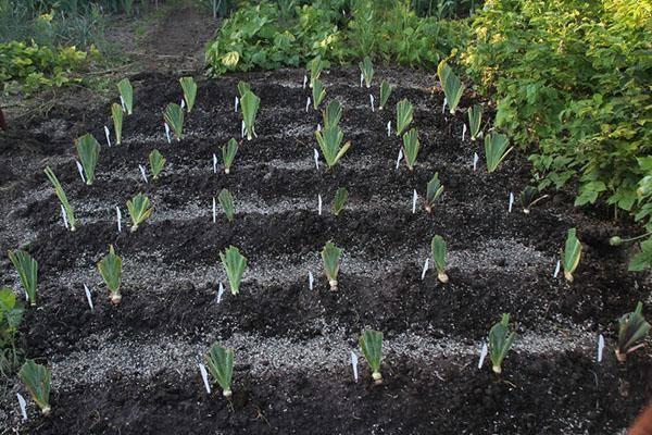 Посадка ирисов (20 фото): как сажать летом в открытый грунт и ухаживать? как красиво посадить ирисы на участке? любят солнце или тень?