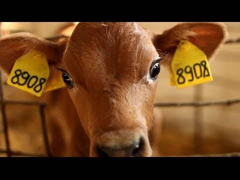 Болезни суставов у телят и коров