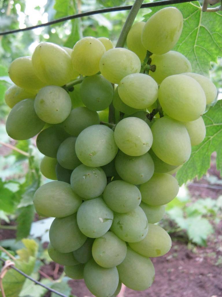 """Виноград """"элегант"""" сверхранний: описание сорта, фото, отзывы"""