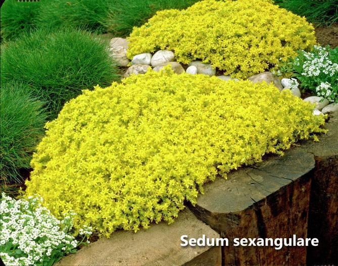 Цветок очиток или седум: виды и сорта, полезные свойства