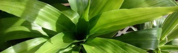 У драцены желтеют, сохнут и опадают листья: причины и что делать