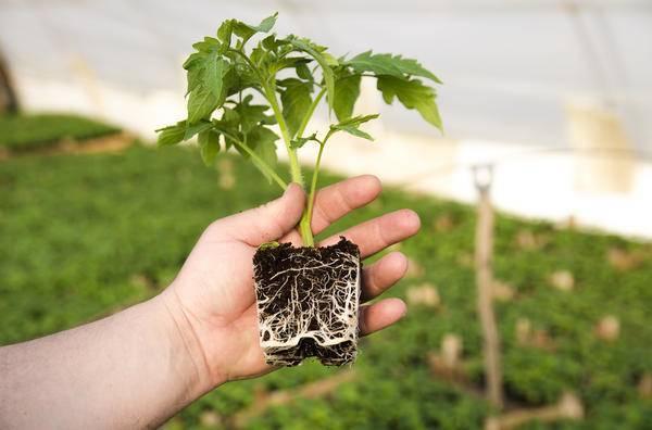 На каком расстоянии сажать помидоры: современные схемы посадки и особенности выращивания томатов (105 фото)