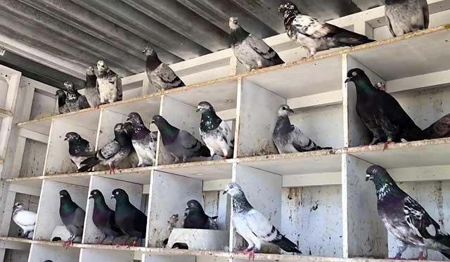 ᐉ английские типплеры: описание породы голубей с фото, правила их содержания и ухода - zookovcheg.ru