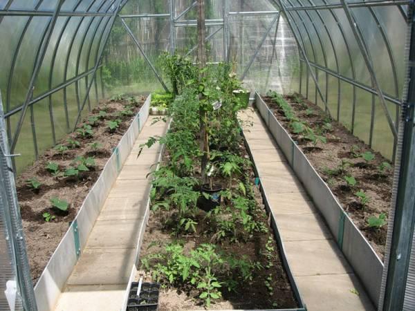 Помидоры и перцы в одной теплице: можно ли сажать что-то вместе с томатами, какова схема расположения овощей для выращивания на трех грядках в оранжерее 6х3? русский фермер