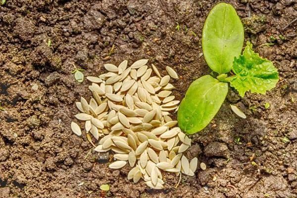 Через сколько дней всходят семена огурцов после посева