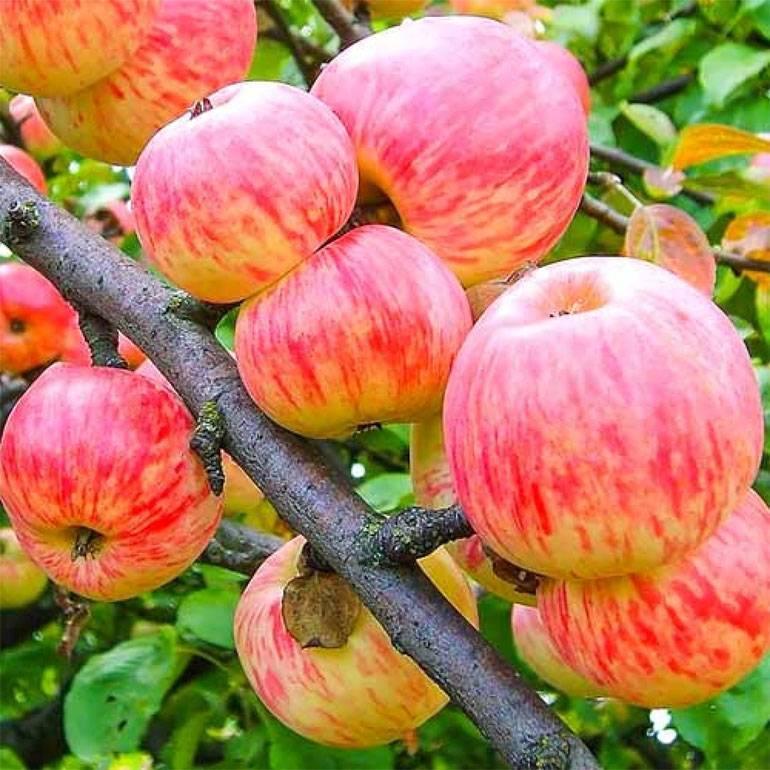 """Яблоня """"осенняя радость"""": посадка и уход, описание сорта и фото"""