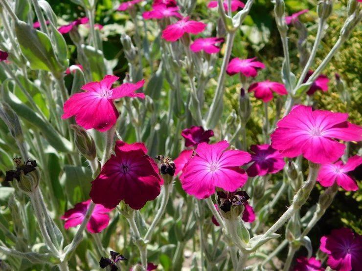 Выращивание вискарии из семян и уход за ней