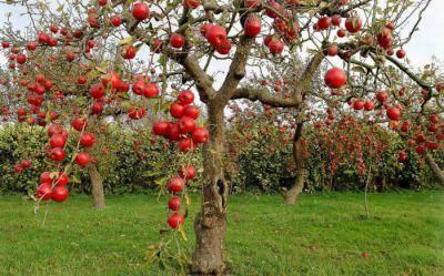 Описание сорта яблони бельфлер: фото яблок, важные характеристики, урожайность с дерева