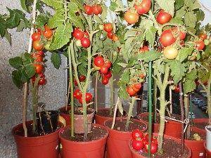 Как получить большой урожай помидоров черри в домашних условиях на подоконнике или балконе? советы хозяйкам