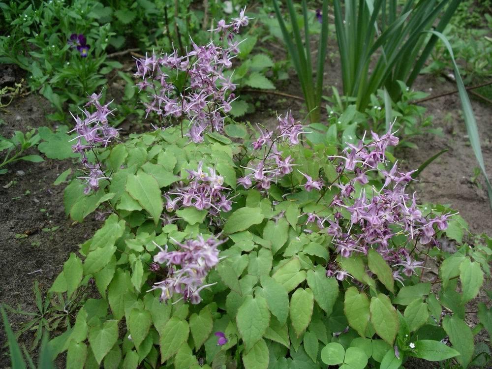 Горечавка – травянистое многолетнее растение для открытого грунта: описание и фото, посадка и уход за цветком