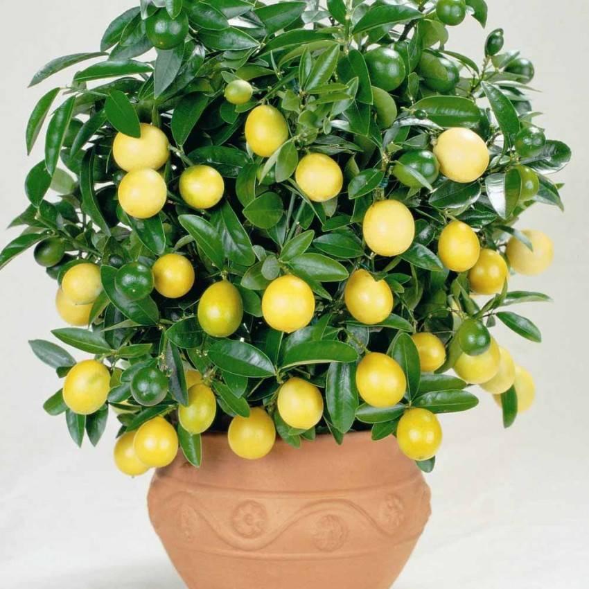 Лимон: выращивание из косточки