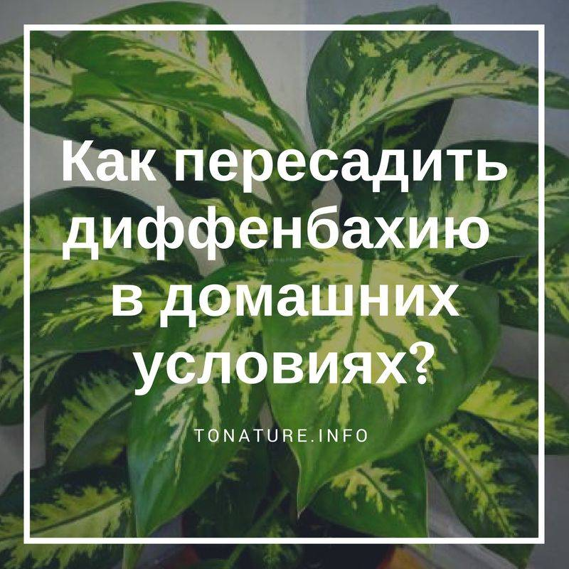 Земля для диффенбахии: состав, особенности пересадки и размножения - sadovnikam.ru
