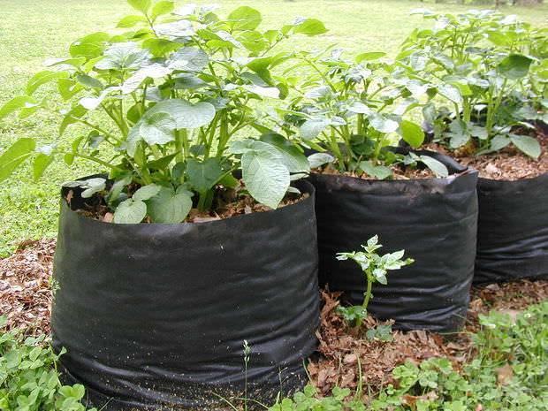 Выращивание картофеля в мешках: технология, уход, видео