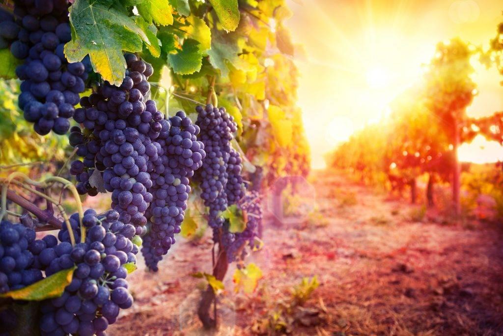 Винодельческие регионы франции - карта и описание, сорта винограда