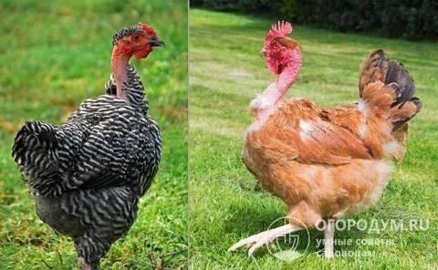 Голошейная трансильванская порода кур – описание, фото и видео
