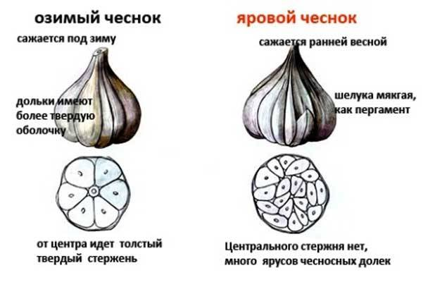 Когда и как посадить чеснок: осенью, под зиму, или весной