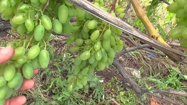 """Виноград """"тимур"""": описание сорта, фото, отзывы"""